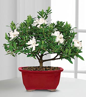 Scenic Snowfall Holiday Gardenia Bonsai - 6-inch