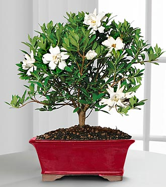 Scenic Snowfall Gardenia Bonsai - 8-inch