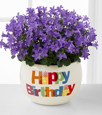 Happy Birthday Blast Campanula Plant
