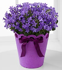 Perfect in Purple Birthday Campanula Plant
