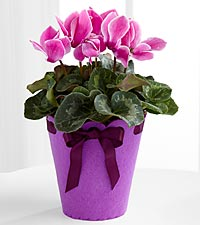 Flowering Fun Birthday Cyclamen Plant