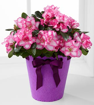 Flowering Fun Birthday Azalea Plant