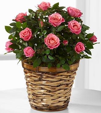 Blushing Views Mini Rose -GOOD
