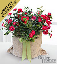 The FTD® Outside Interests Red Rose Plant by Better Homes and Gardens®