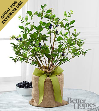 The FTD® Berry Beautiful Blueberry Plant by Better Homes and Gardens®