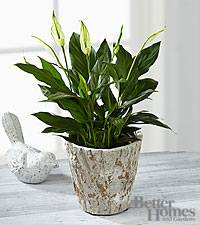 The FTD® Be the Peace You Seek Peace Lily Plant by Better Homes and Gardens®