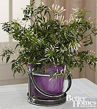 The FTD® Be the Light Jasmine Plant by Better Homes and Gardens®