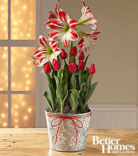The FTD® Christmas Kisses Tulip & Amaryllis Bulb Garden by Better Homes and Gardens®