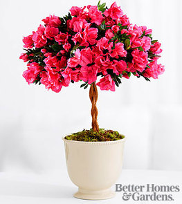 The FTD® Fuchsia Flair Azalea Topiary by Better Homes and Gardens®