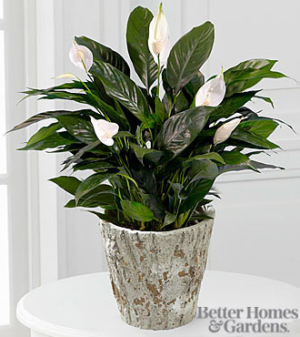 The FTD® Perfect Peace Lily Plant by Better Homes and Gardens® - BETTER