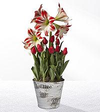 Christmas Kisses Tulip & Amaryllis Bulb Garden