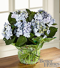 The FTD® Perfect in Periwinkle Angel Parasol Hydrangea by Better Homes and Gardens®