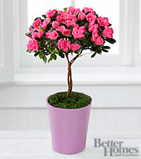 The Better Homes and Gardens® Heart's Opening Azalea Topiary