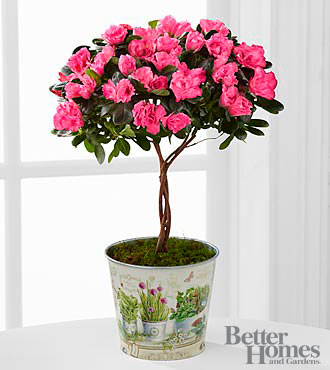 Heart Opening Azalea Topiary - Better
