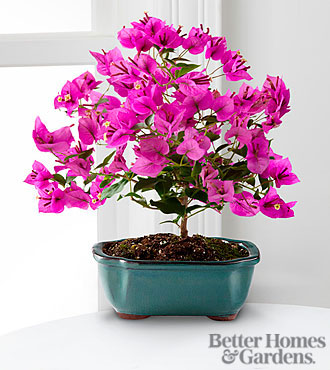The FTD® Rare Beauty Bonsai by Better Homes and Gardens® 8 inches- Good