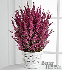 The FTD® Sweet Wishes Valentine's Day Heather Plant by Better Homes and Gardens®