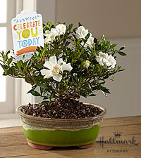 The FTD® Celebrate You Gardenia Bonsai by Hallmark