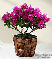 The FTD® Flowering Fuchsia Bougainvillea Plant by Better Homes and Gardens®- GOOD