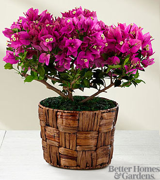 The FTD® Flowering Fuchsia Bougainvillea Plant by Better Homes and Gardens® - BETTER