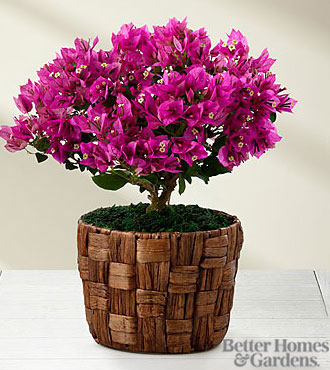 The FTD® Flowering Fuchsia Bougainvillea Plant by Better Homes and Gardens® - BEST