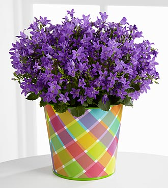 The FTD® Pick-Me-Up® Light of Lavender Campanula Plant