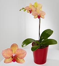 Rare Treasure Phalaenopsis Orchid