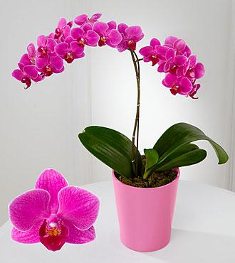 Stunning Sophistication Phalaenopsis Orchid