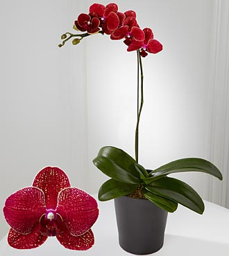 Royal Beauty Phalaenopsis Orchid