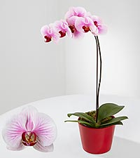 Love & Patience Phalaenopsis Orchid