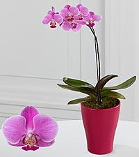 Majestic Grace Phalaenopsis Orchid
