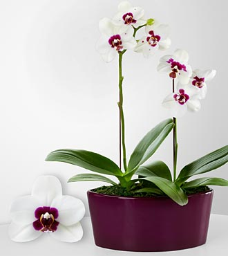 Endless Possibilities Phalaenopsis Orchids