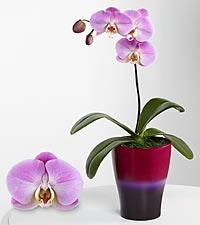 Sweet Sensation Phalaenopsis Orchid