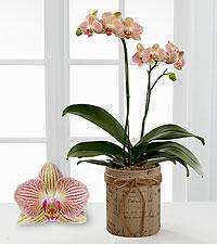 Hopeful Tomorrows Phalaenopsis Orchid