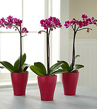 The Power of Three Orchid Trio