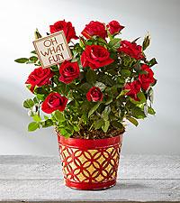 Christmas Kisses Holiday Mini Rose - GOOD