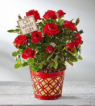 Festive Fun Holiday Mini Rose