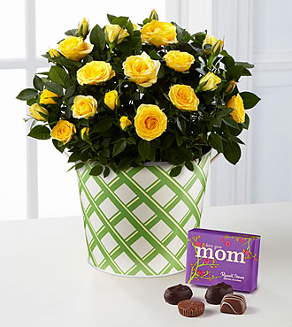 Sunshine Spirit Mini Rose Plant with Chocolates-Best