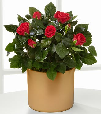 Sheer Elegance Mini Rose Plant - 4.5-inch in diameter