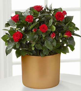 Sheer Elegance Mini Rose Plant - 6.5-inch