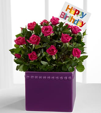 Party On Purple Happy Birthday Mini Rose Plant
