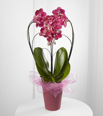 Timeless Romance Valentine's Day Orchid Plant