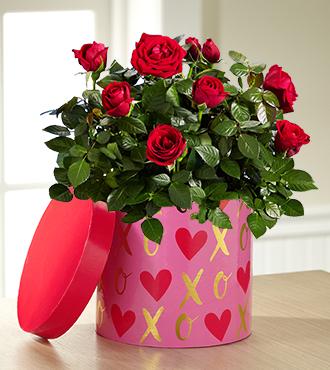 It's Love Mini Rose