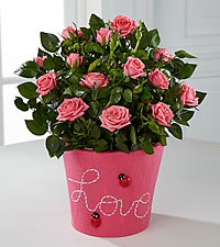 Love Bug Mini Rose Plant