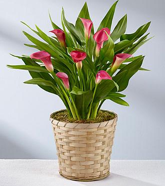 Pink Calla Lily Plant