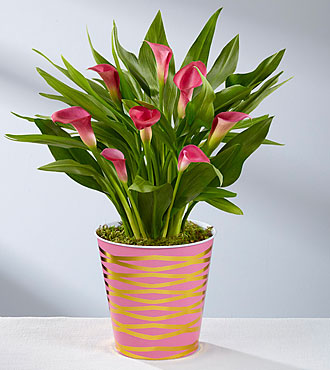 Pink Calla Lily Plant-Better