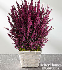 The FTD® Do All Things with Love Valentine Heather Plant by Better Homes and Gardens®