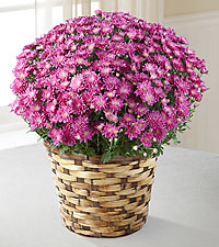 The FTD&reg: Devotion™ Pink Mum