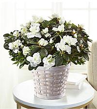 Blooming Azalea