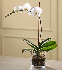 L'Orchidée blanche en pot de FTD