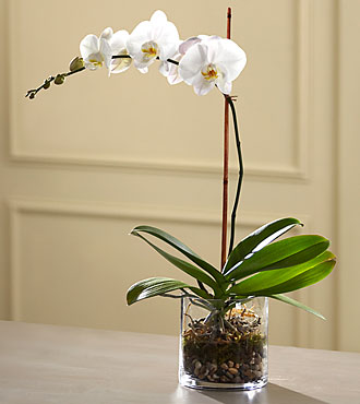 The FTD White Orchid Planter